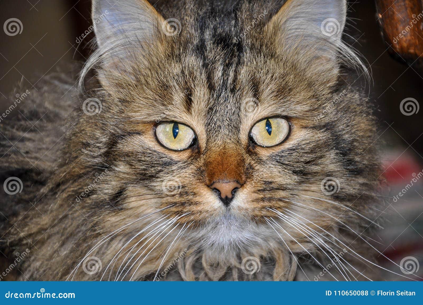 Ritratto Del Gatto Di Soriano Lanuginoso Con I Bei Occhi Giallo