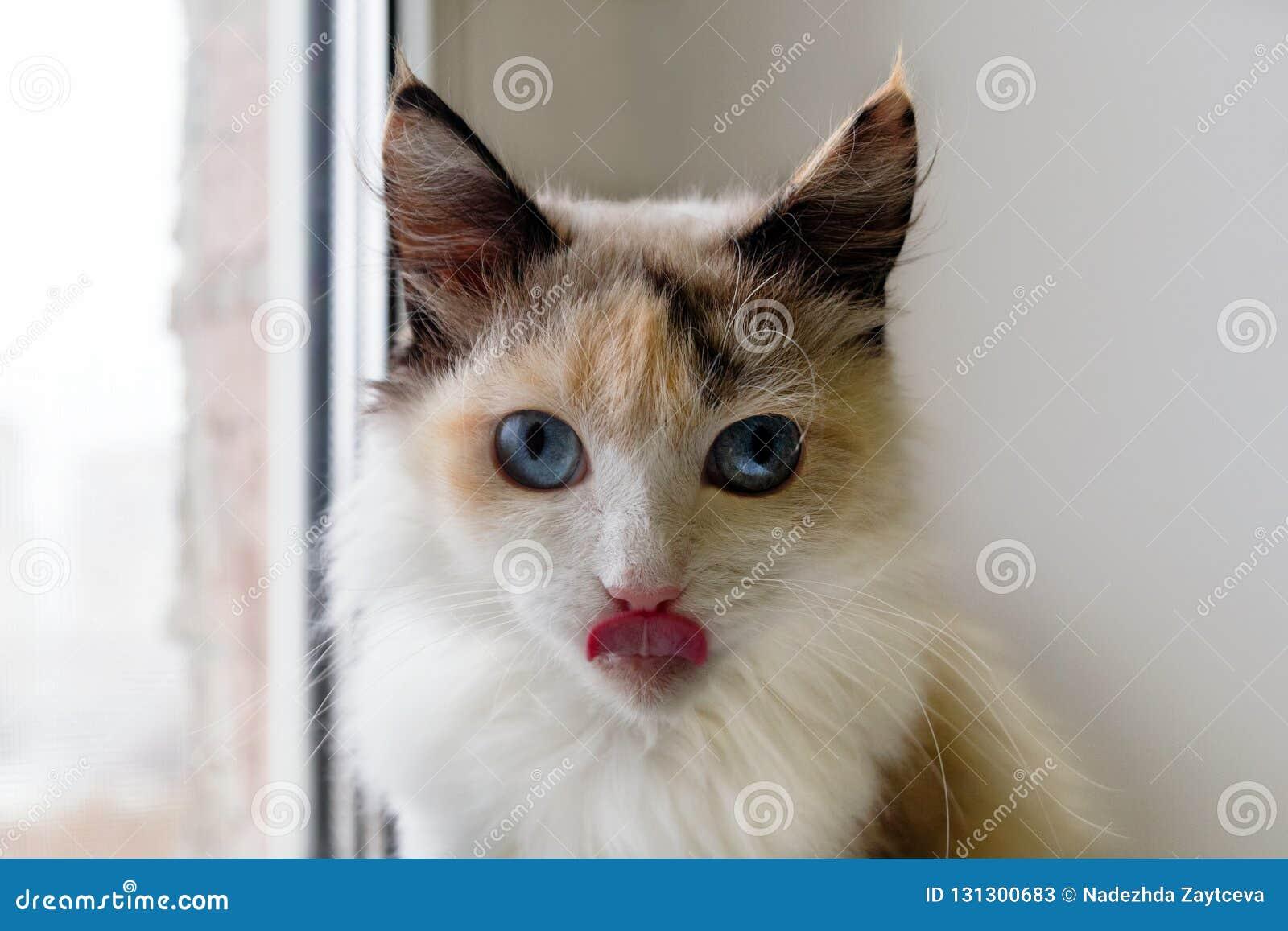 Ritratto del gatto lanuginoso della carapace adorabile con gli occhi azzurri e la lingua fuori attaccata