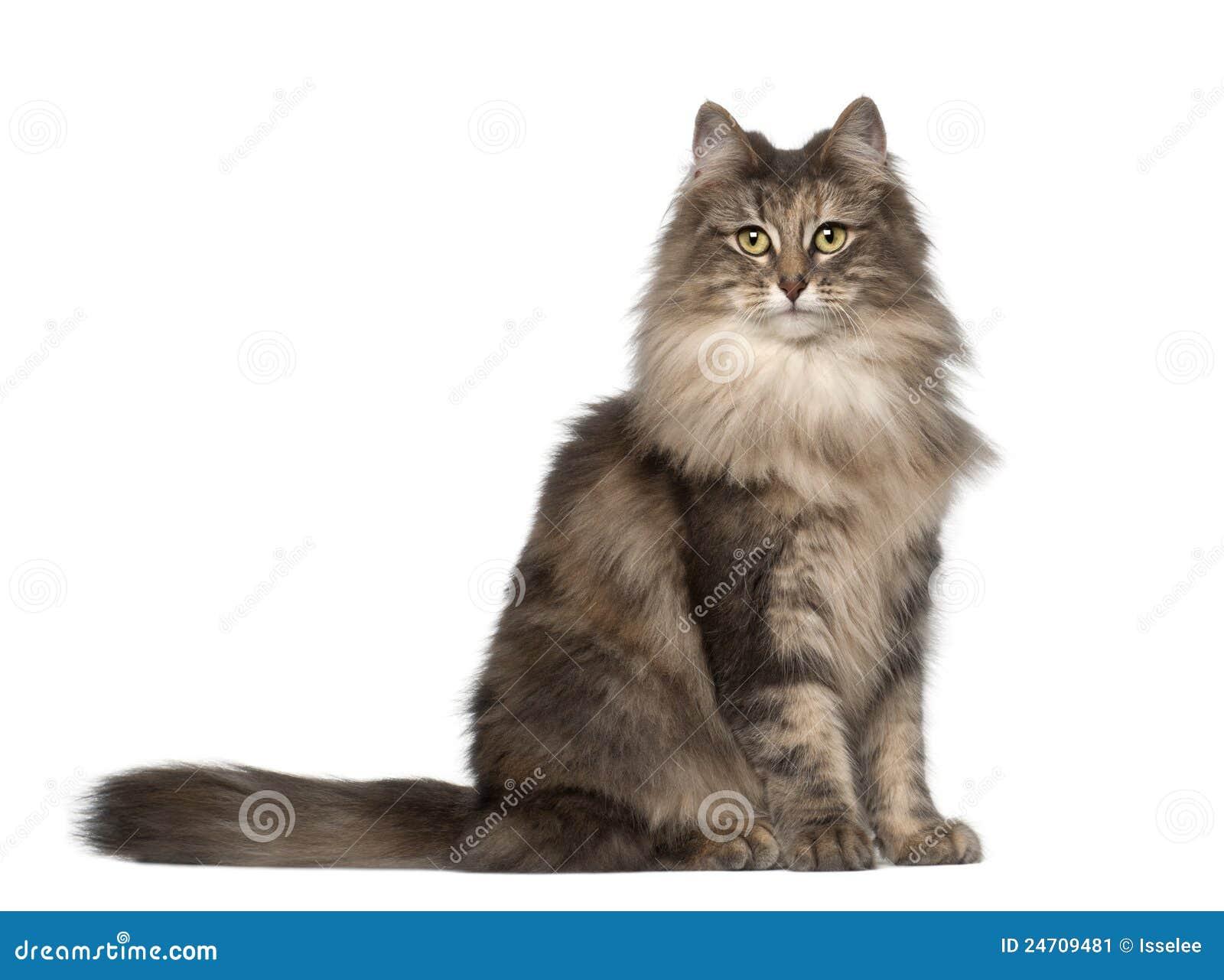 Ritratto del gatto norvegese della foresta immagine stock for Gatto della foresta norvegese