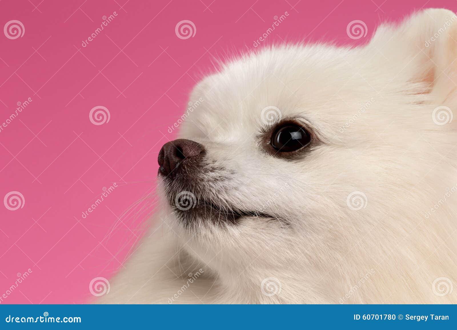 Ritratto del primo piano del cane bianco dello spitz su for Piani principali del primo piano