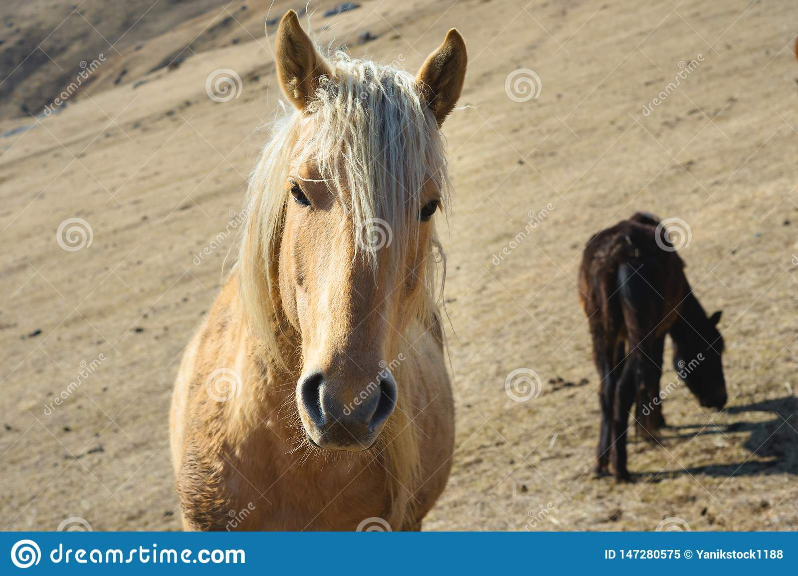 Ritratto del primo piano di un cavallo beige contro lo sfondo di un gregge dei cavalli sui pascoli gialli di autunno della montag