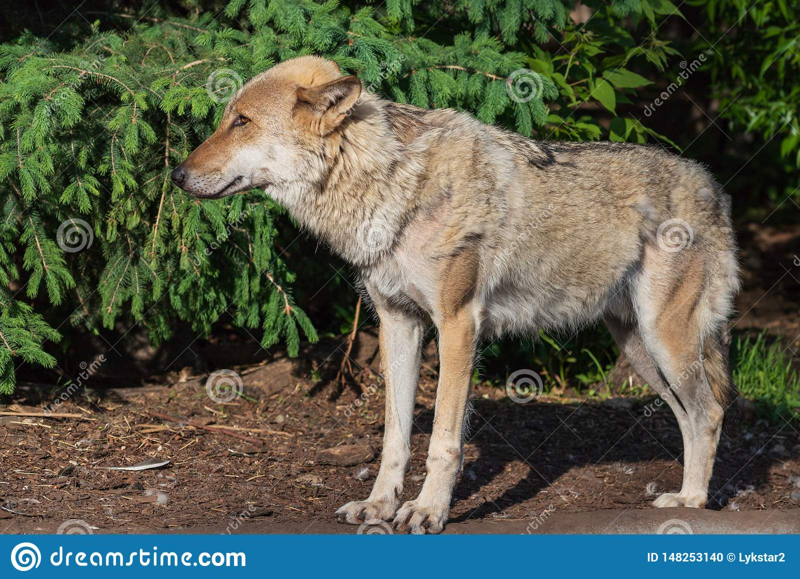 Ritratto del primo piano del lupo grigio