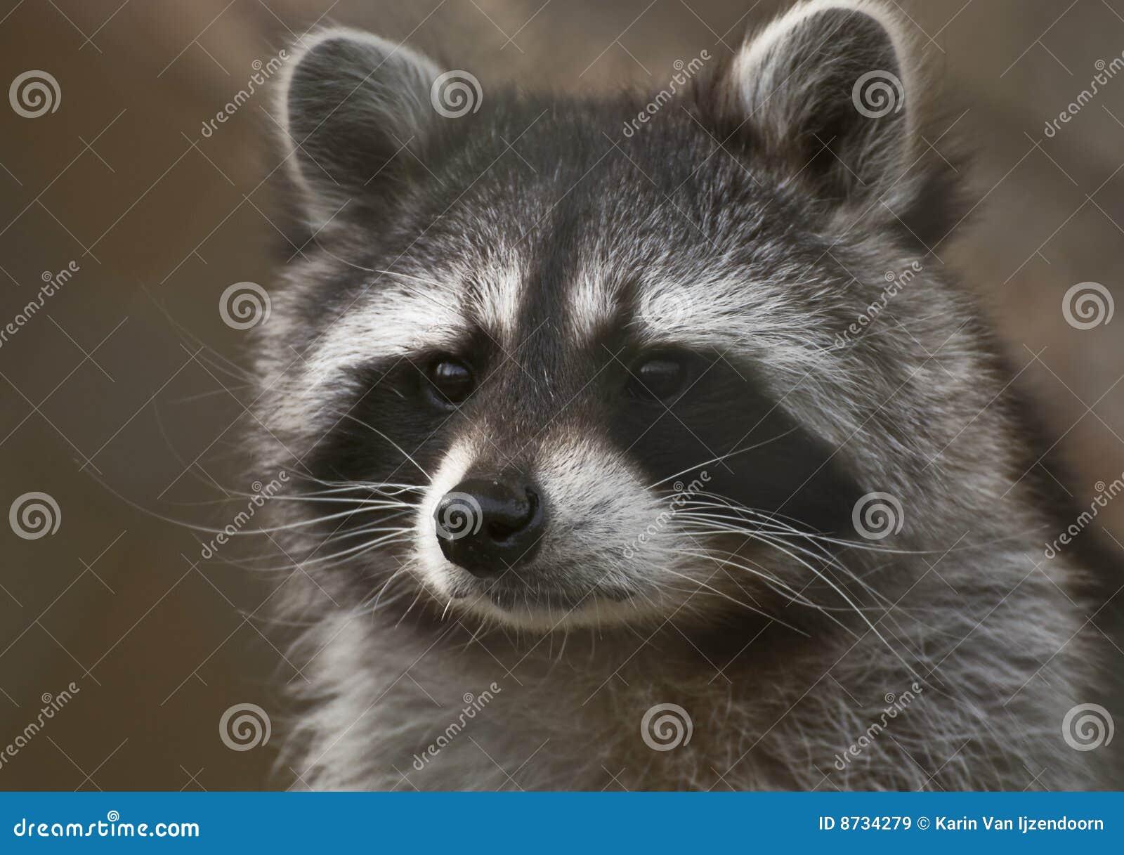Ritratto del Raccoon