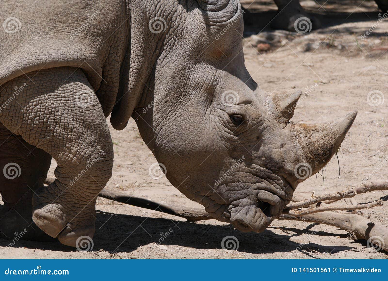 Ritratto del rinoceronte in habitat sterile
