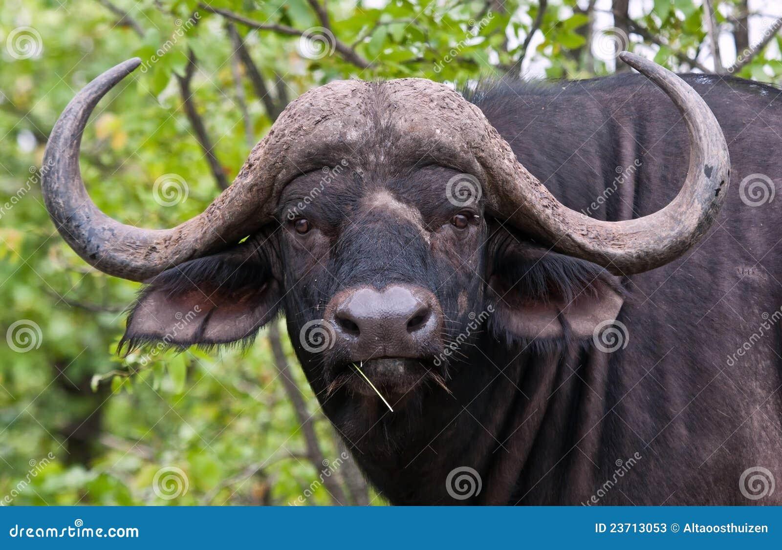 ritratto del toro del bufalo immagine stock immagine di