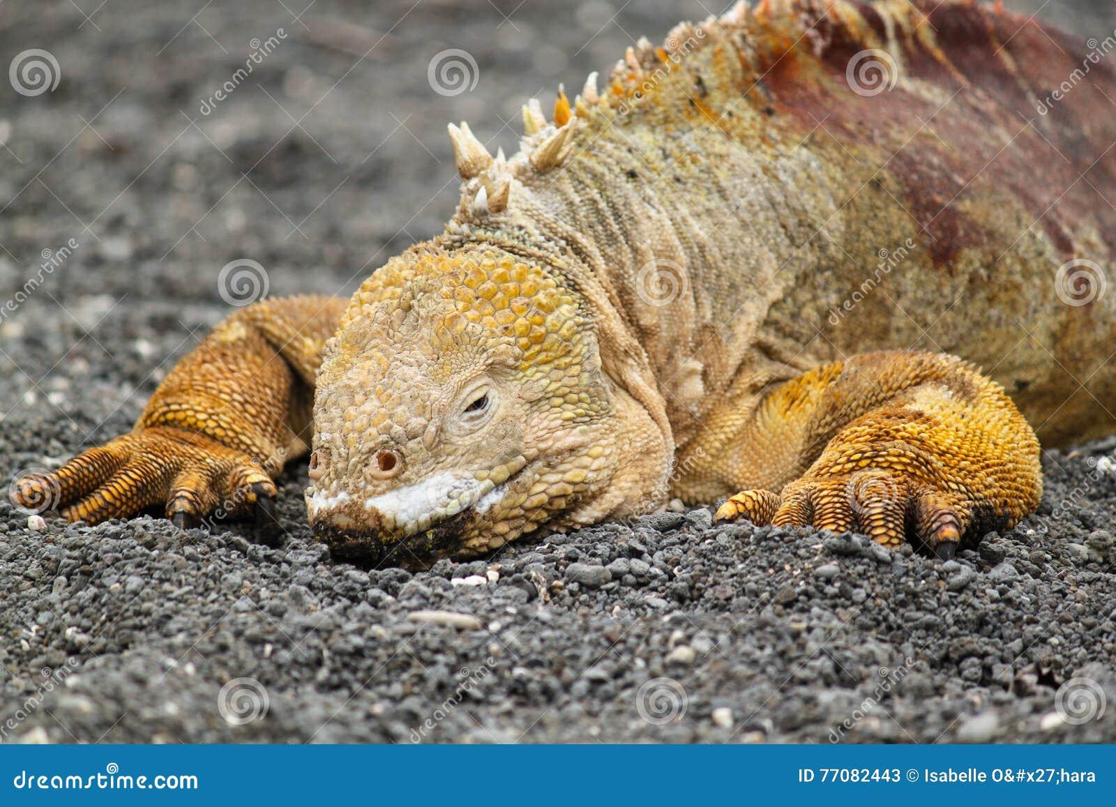 Ritratto dell iguana terrestre delle Galapagos, subcristatus di Conolophus