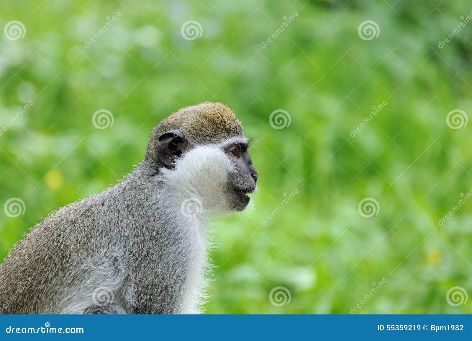 Ritratto della scimmia