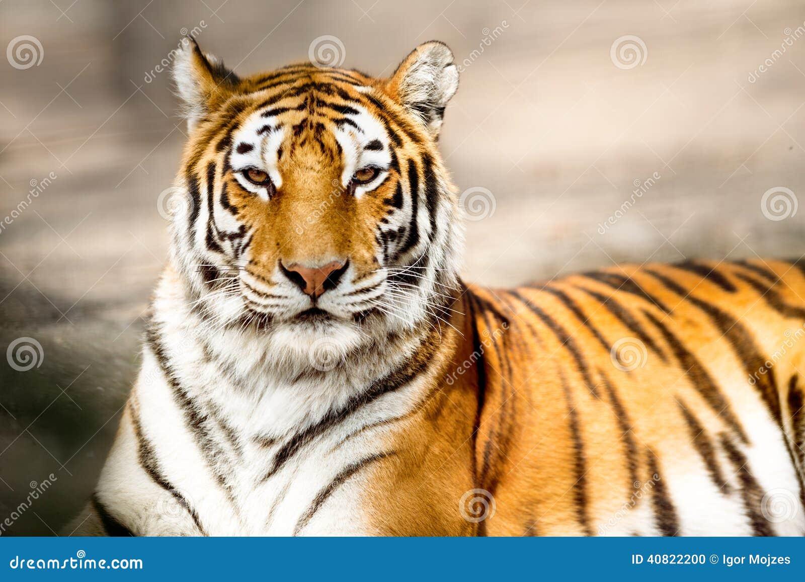 Ritratto della tigre dell Amur