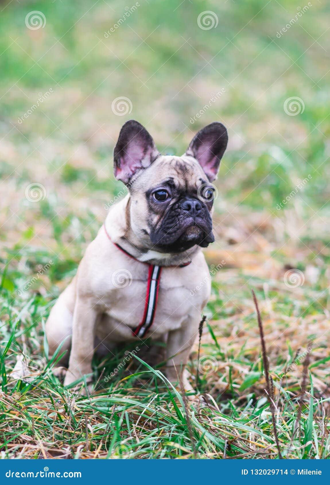 Ritratto di bello autunno di seduta del parco del piccolo cane del bulldog francese del cucciolo