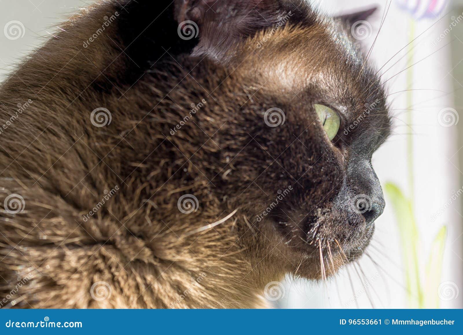 Ritratto Di Grande Gatto Maschio Immagine Stock Immagine Di Corsa
