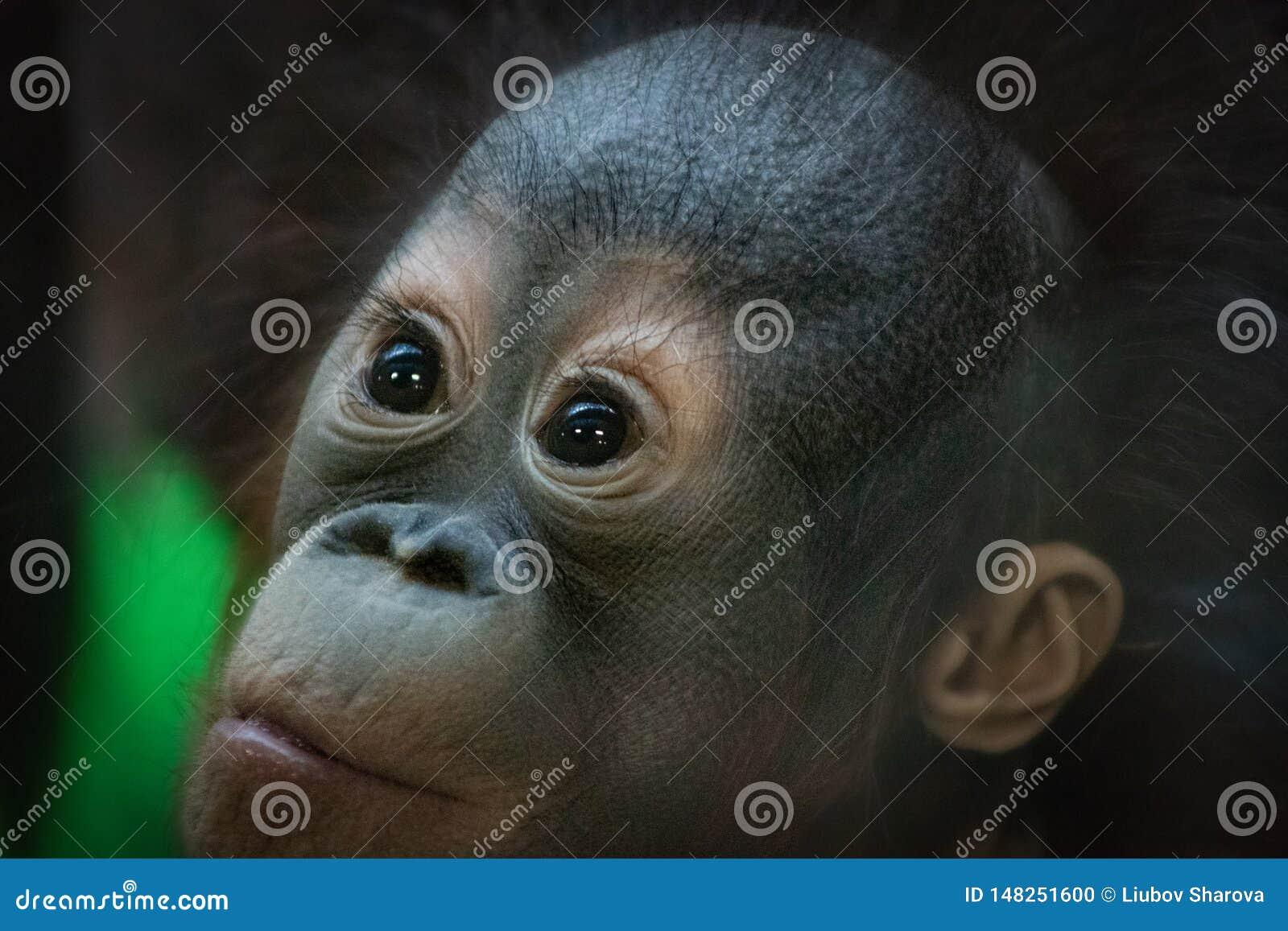 Ritratto di piccolo cucciolo dell orangutan che guarda con un espressione sorpresa