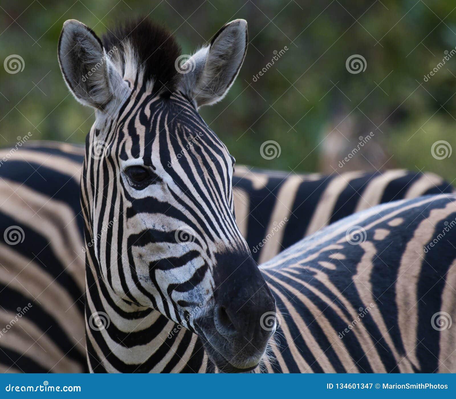 Ritratto di singola zebra, equus che esamina macchina fotografica