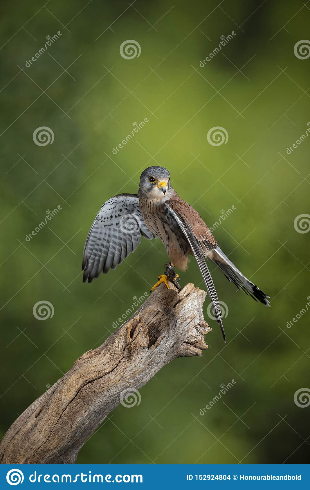 Ritratto di stordimento del gheppio Falco Tinnunculus nella regolazione dello studio sul fondo verde chiazzato della natura