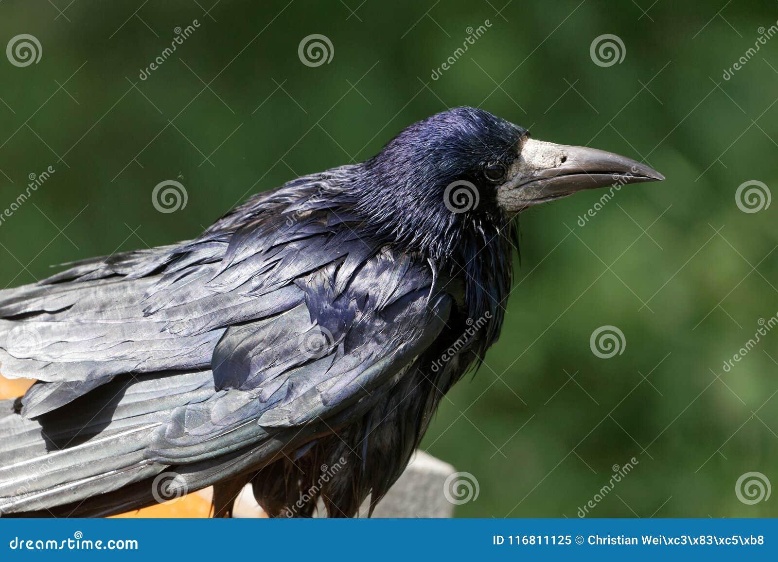 Ritratto di un corvo