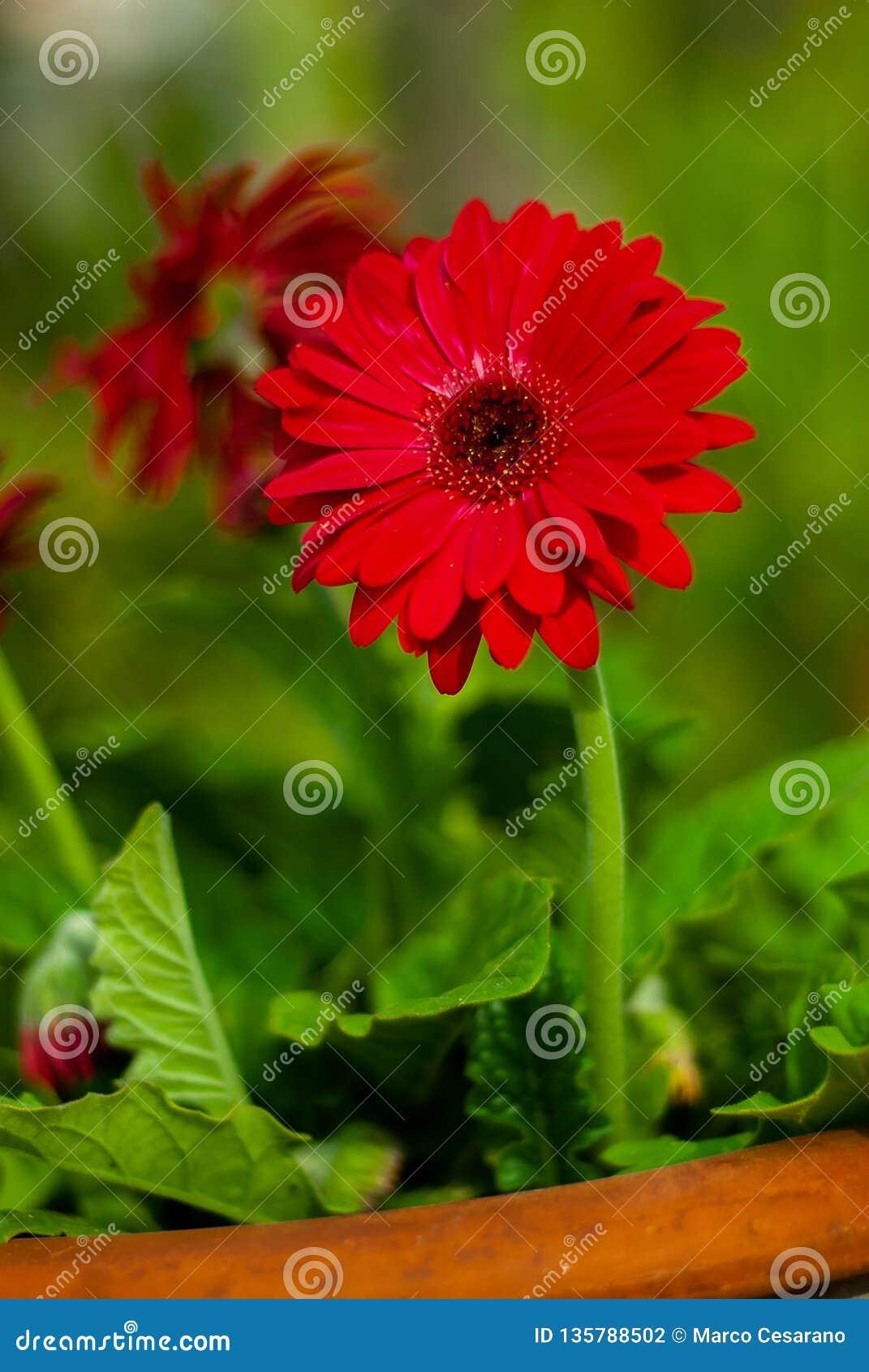 Ritratto di un fiore rosso della gerbera