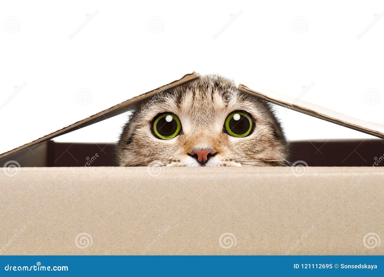 Ritratto di un gatto divertente che guarda dalla scatola