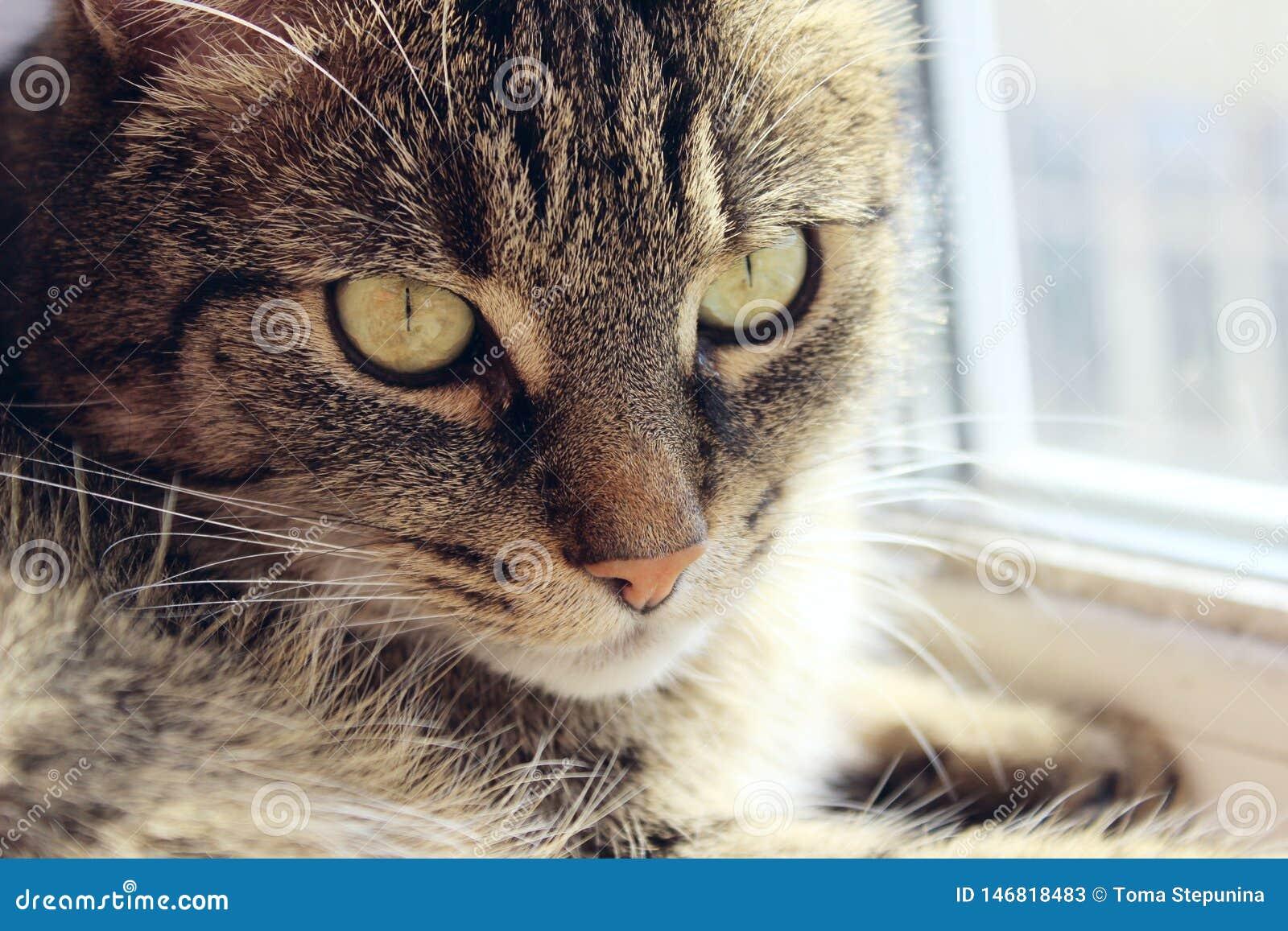 Ritratto di un gatto, fine su Animali domestici, animali giorno, concetto degli animali Gatto di Tabby che esamina la macchina fo