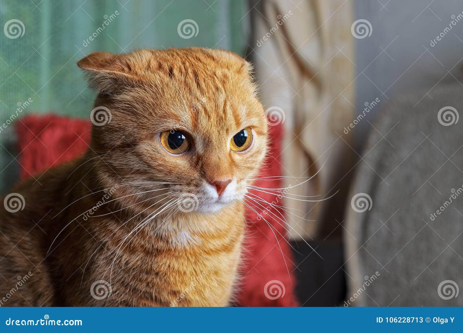 Ritratto Di Un Gatto Rosso Serio Ed Arrabbiato Immagine Stock