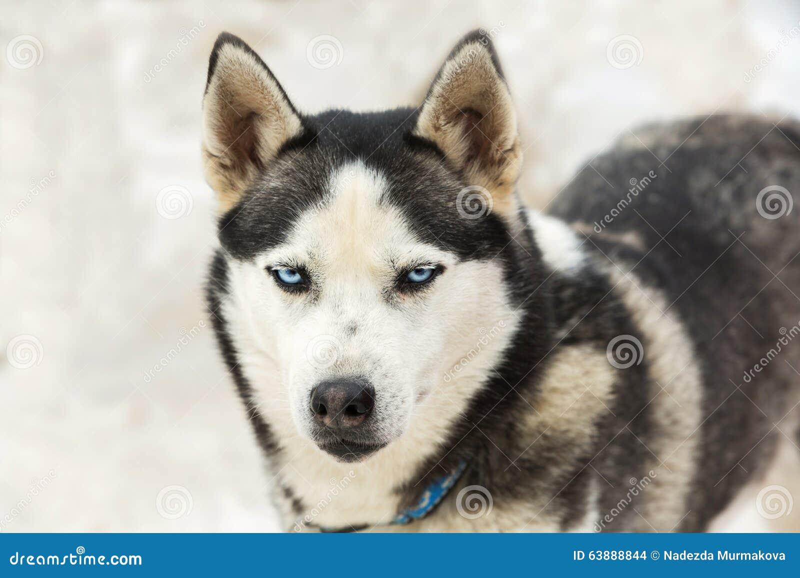 Ritratto di un husky del cane con gli occhi azzurri fotografia stock immagine di brown - Husky con occhi diversi ...
