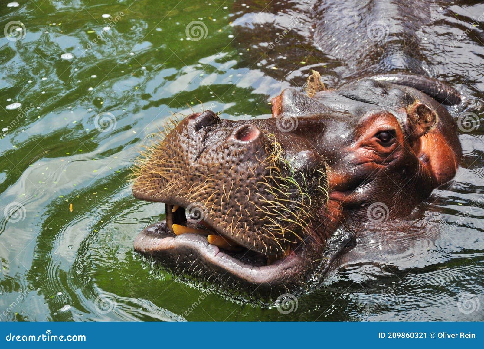 Cele Mai Periculoase Animale Din Africa   , Hipopotamul are o vedere slabă