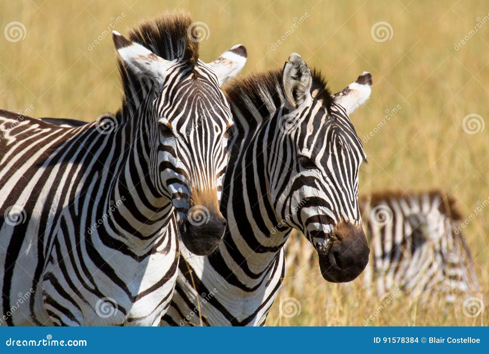 Ritratto di una coppia le zebre delle pianure