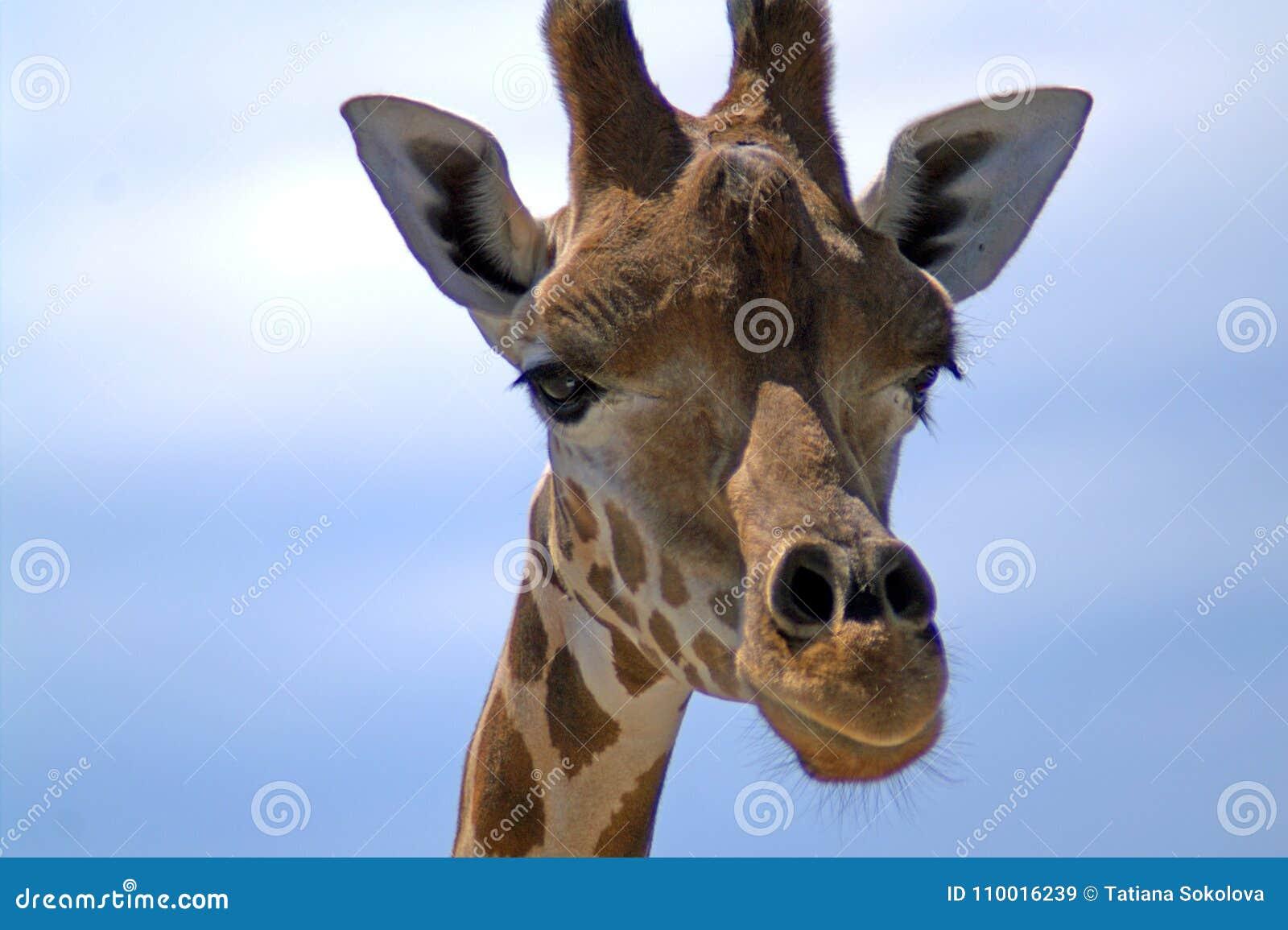 Ritratto di una giraffa contro il cielo