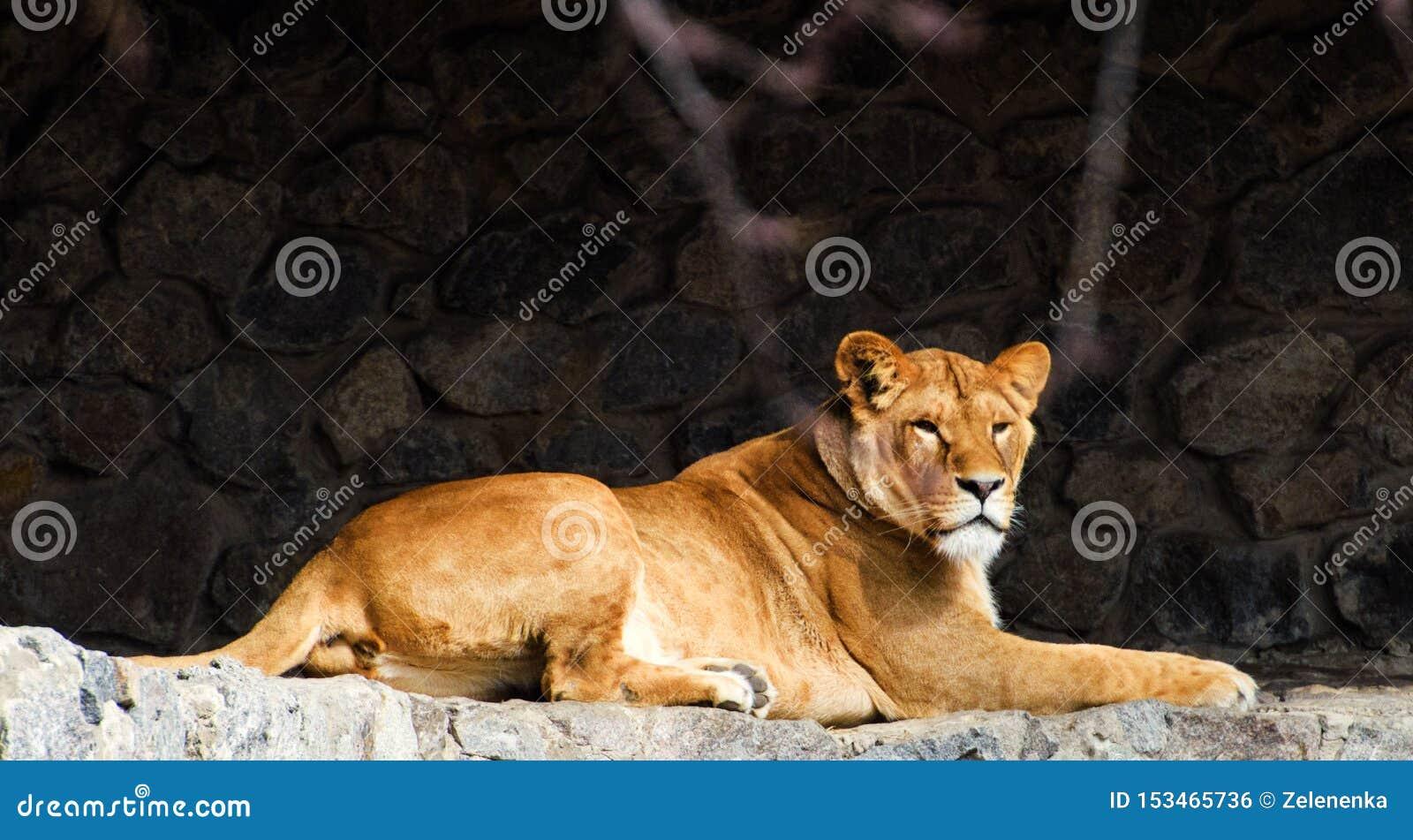 Ritratto di una leonessa