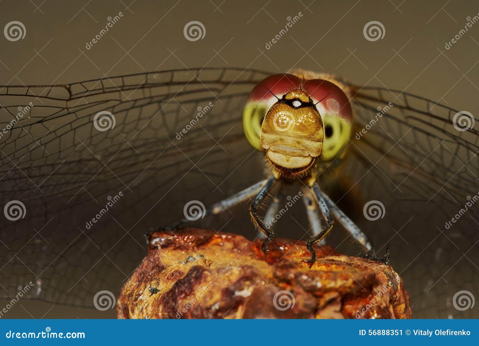 Ritratto di una libellula