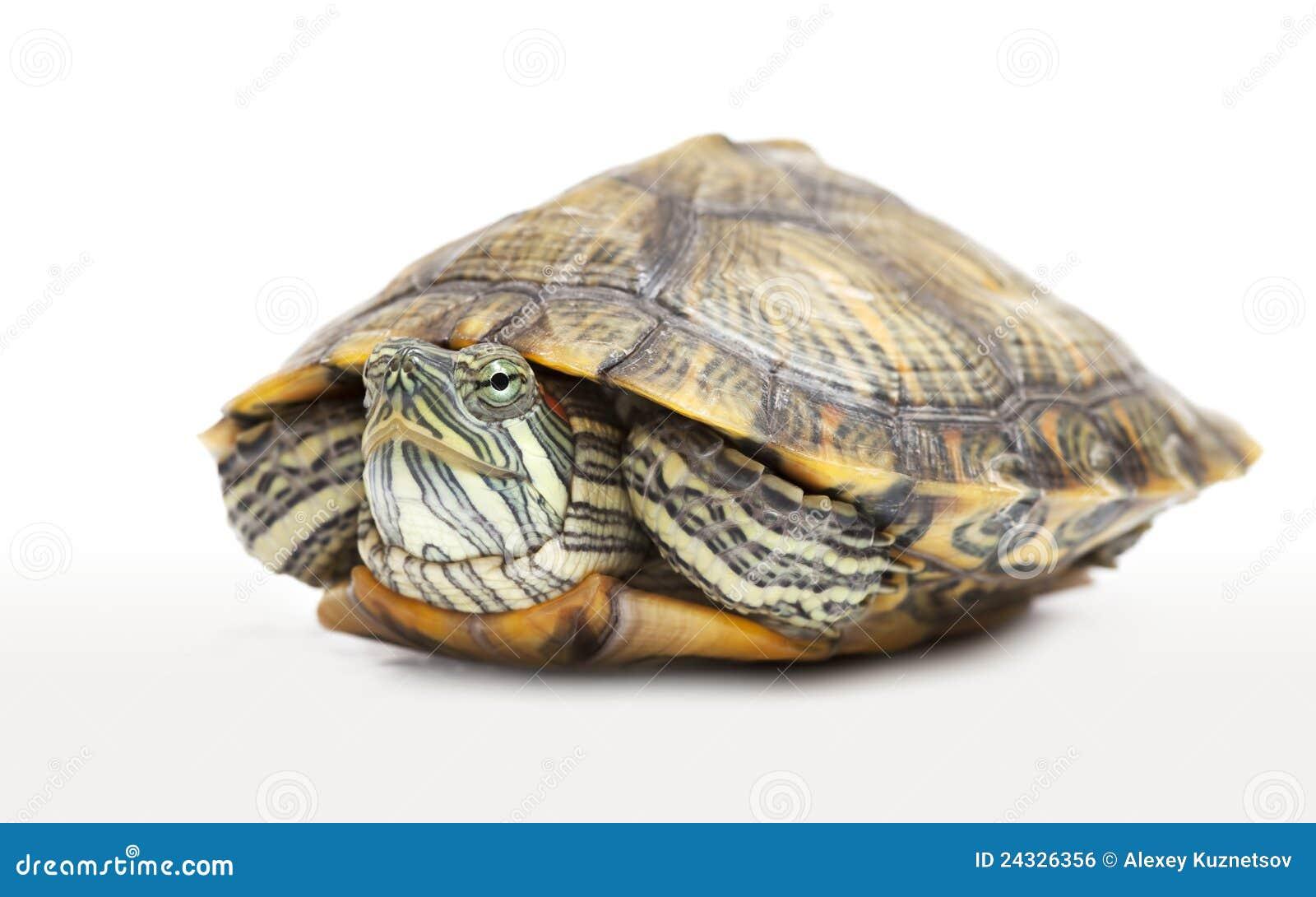 Ritratto di una tartaruga d 39 acqua dolce fotografia stock for Tartaruga acqua dolce razze