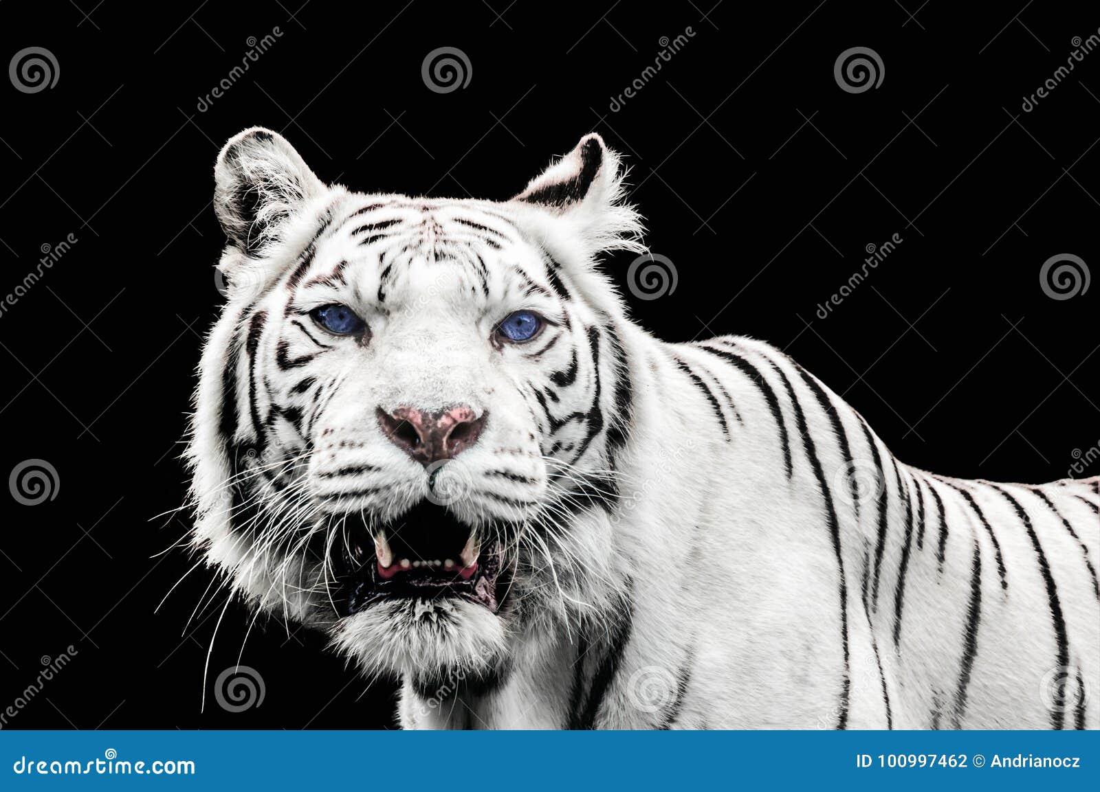 Immagini di tigre bianca u2013 migliori pagine da colorare