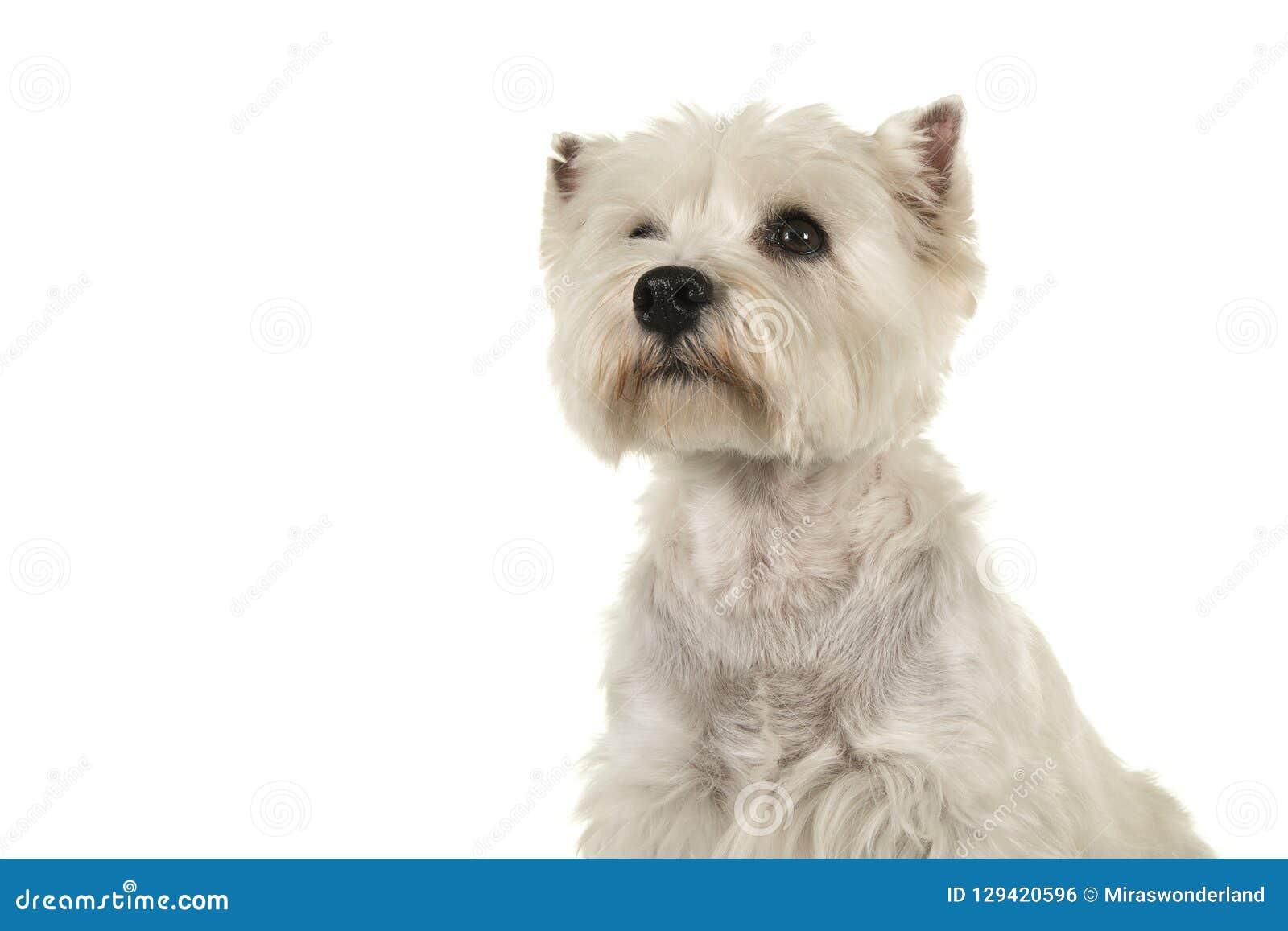 Ritratto di uno sguardo del cane del terrier bianco o del westie di altopiano ad ovest