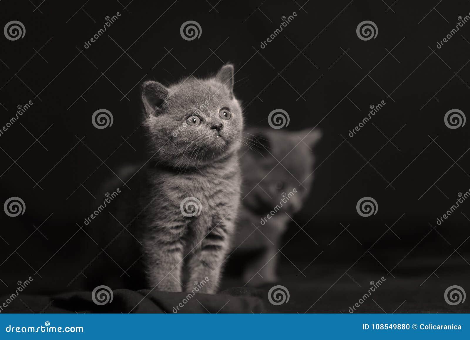 Ritratto isolato gattino sveglio, backgrouns neri