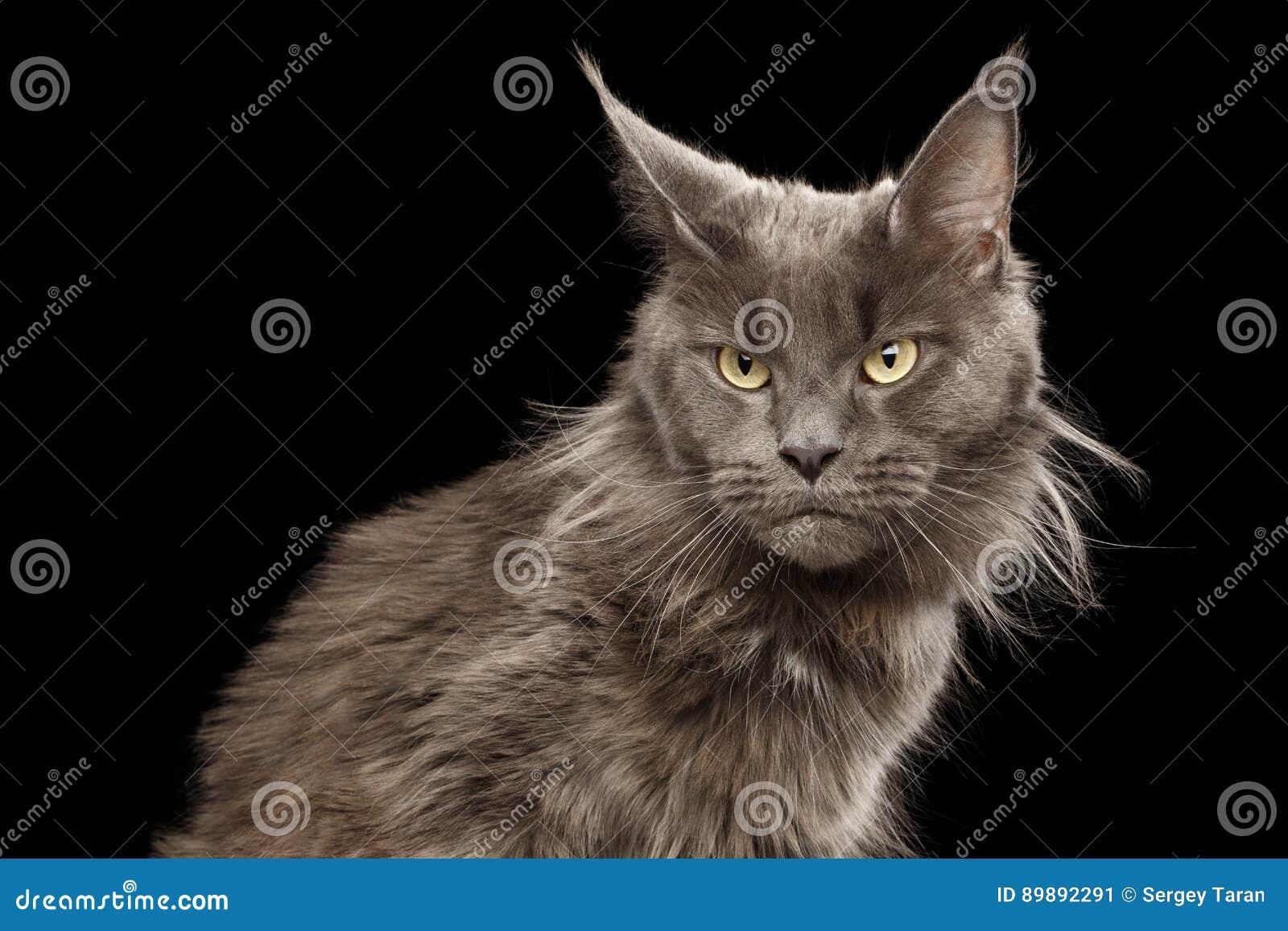 Ritratto Maine Coon Cat del primo piano su fondo nero