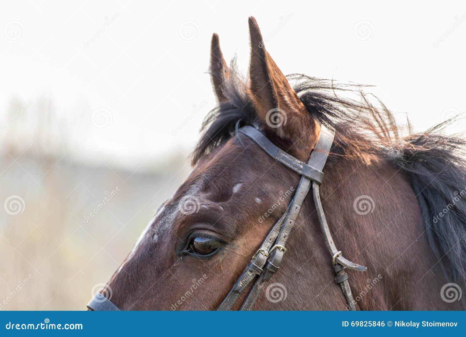 Ritratto marrone del cavallo
