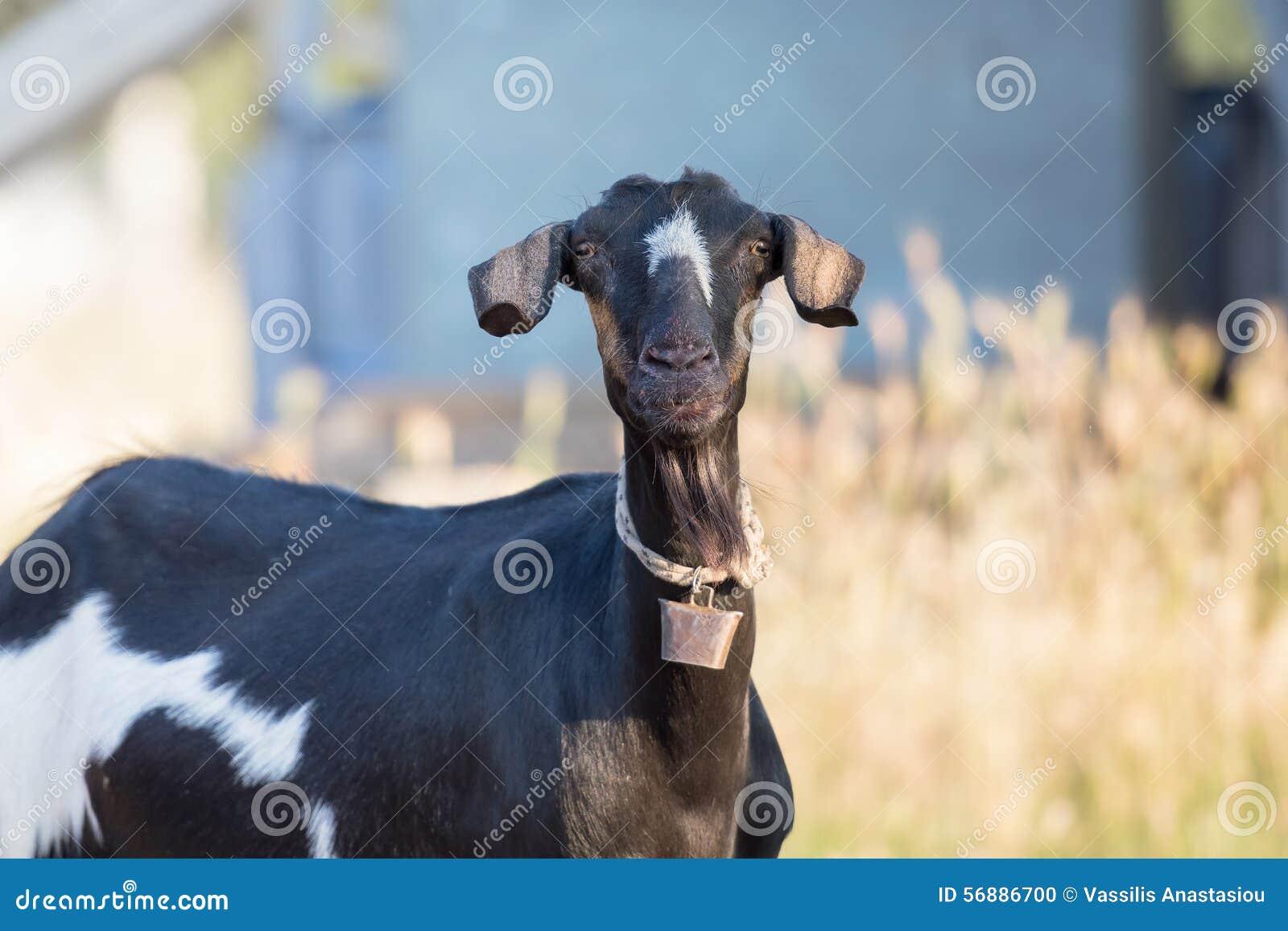 Ritratto nero sveglio e divertente della capra