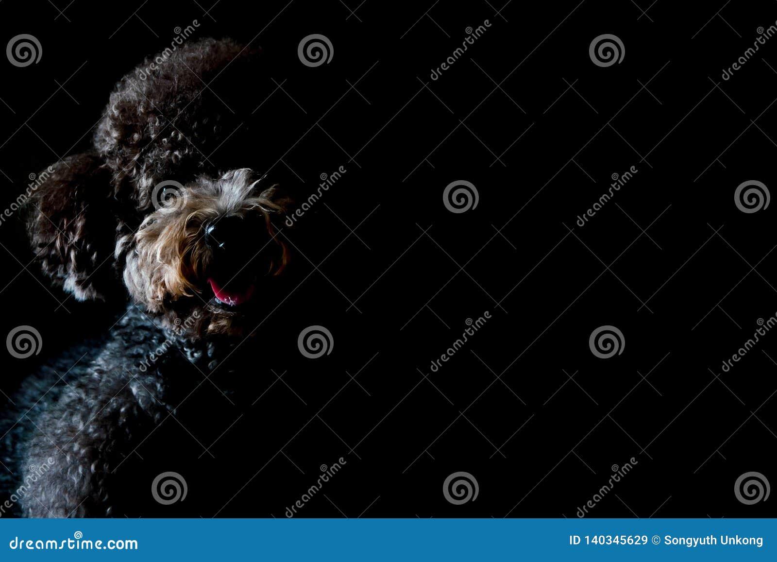 Ritratto parziale del cane nero adorabile di Toy Poodle