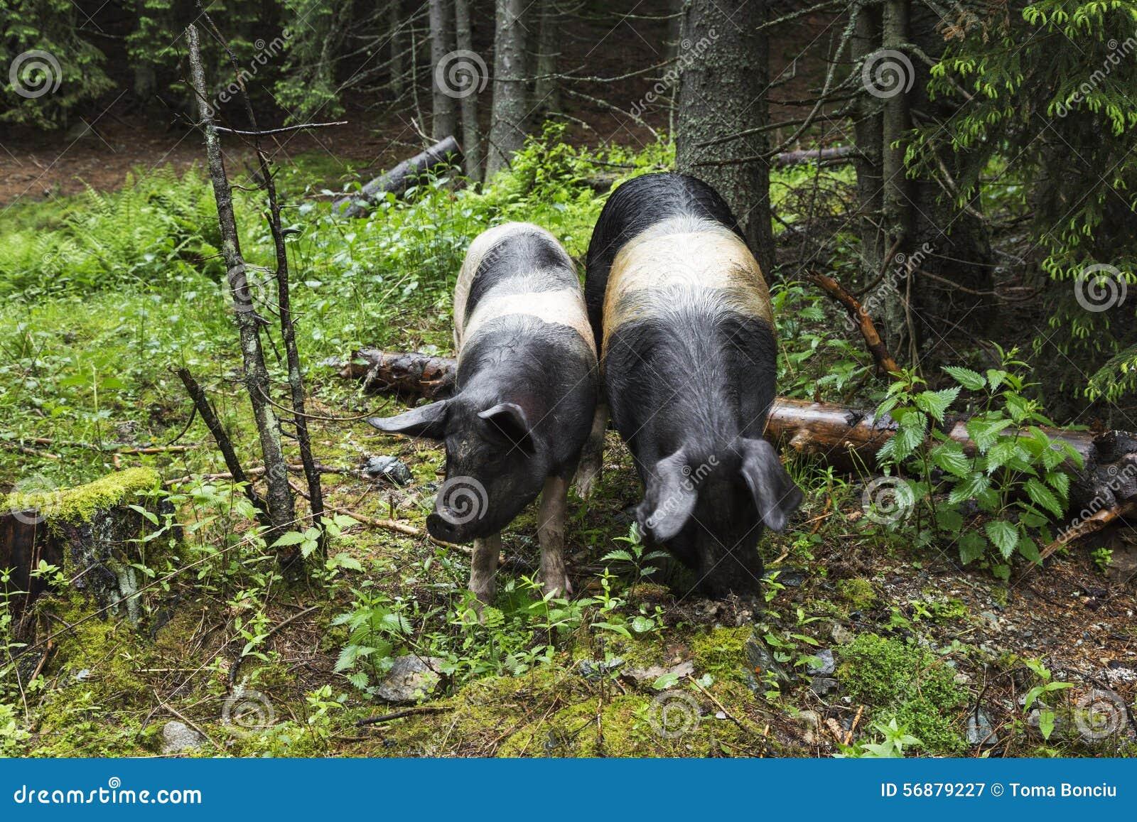 Ritratto selvaggio del maiale