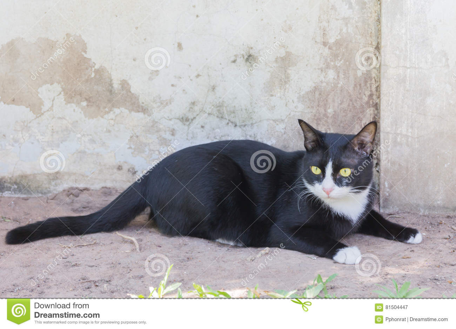 Ritratto sinistro terrificante del fronte del gatto nero
