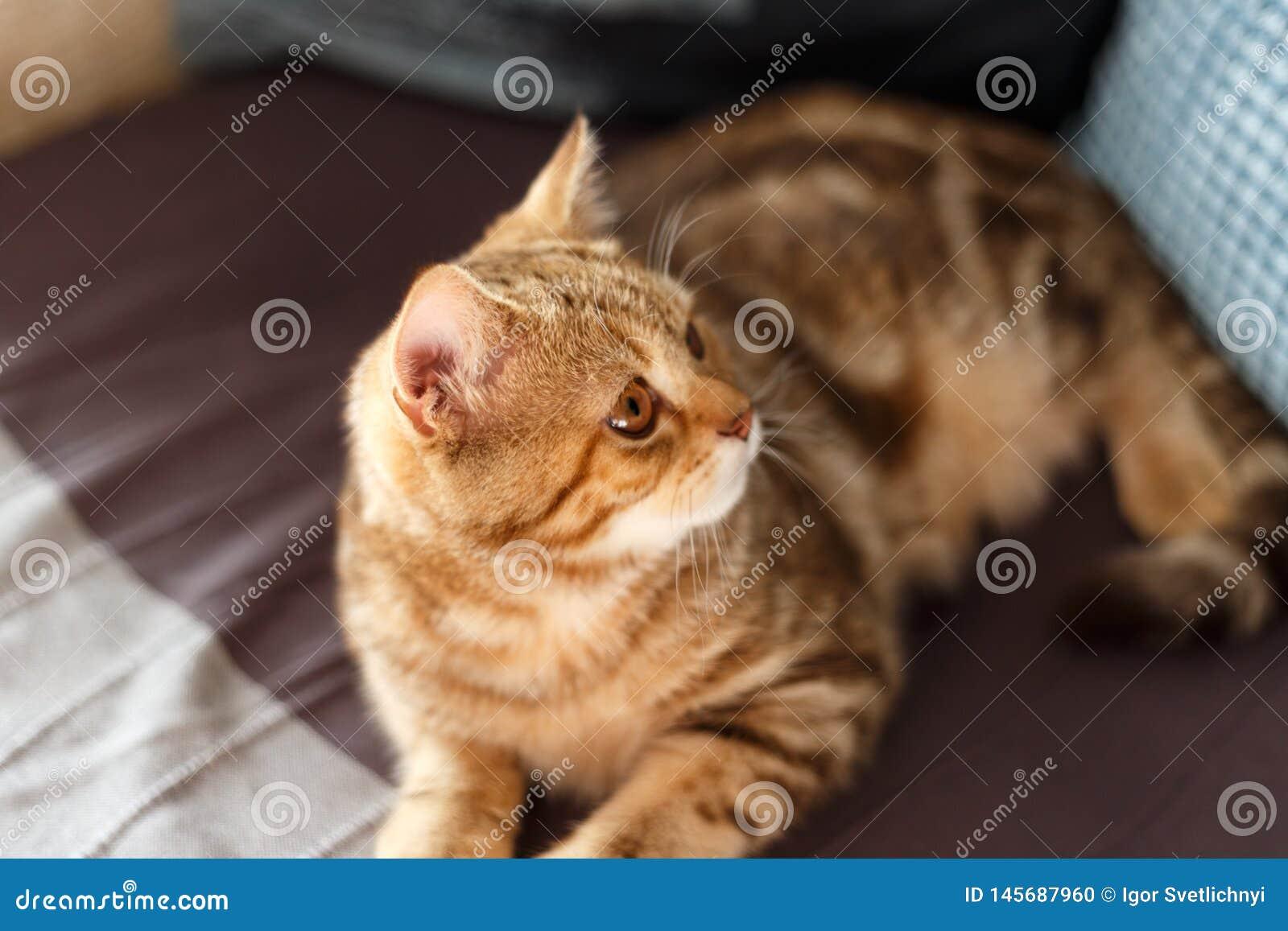 Ritratto sveglio di un gattino scozzese diritto