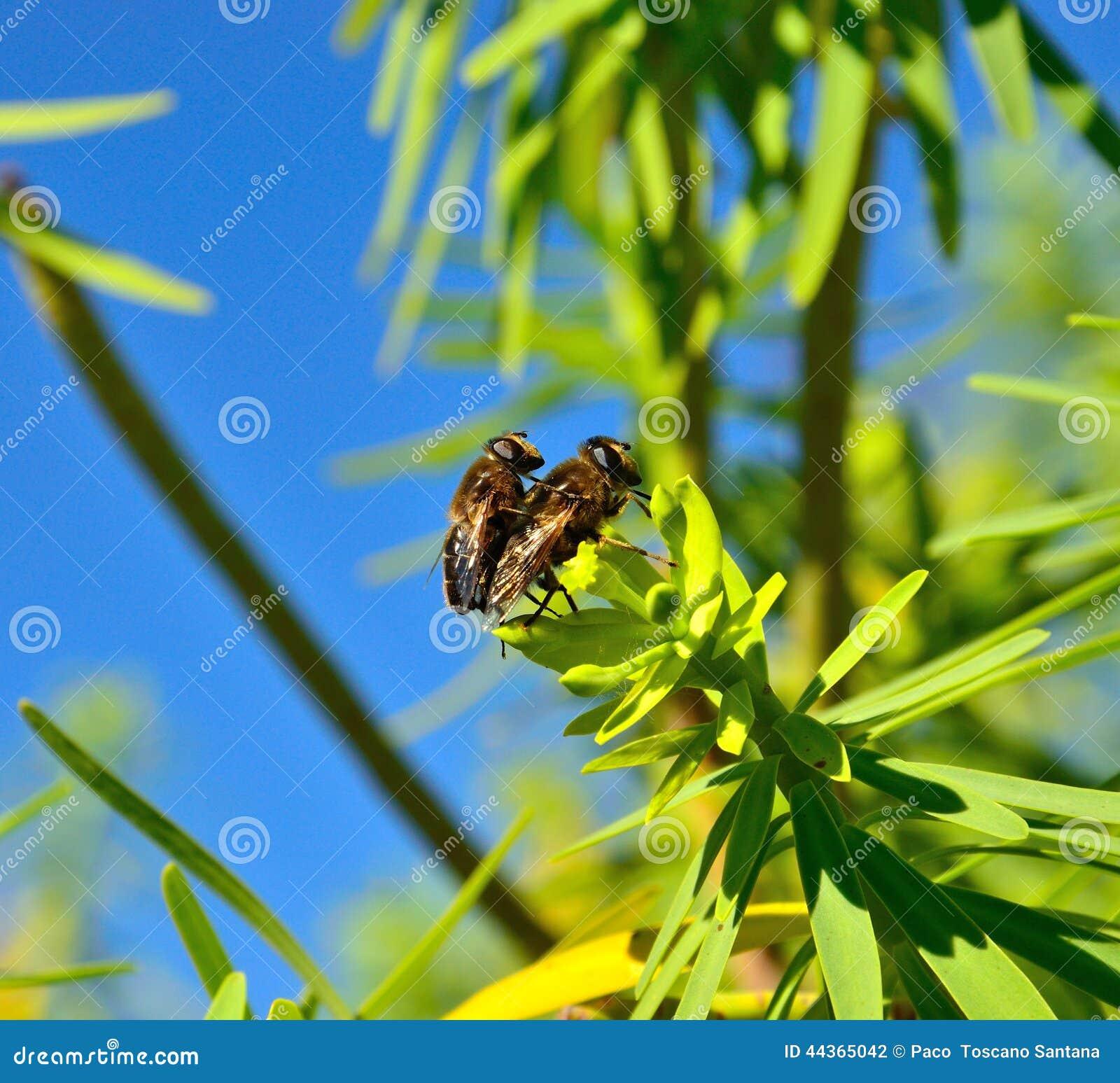Rituale accoppiamento delle api sulle foglie verdi di euforbia