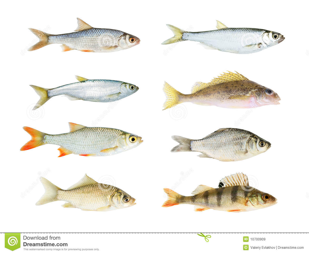 River fish collection isolated stock image image of for Image of fish