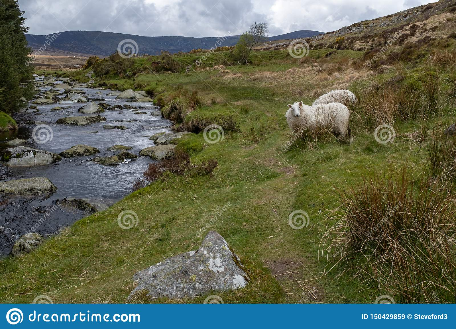 The River Iffey flowing through the Wicklow Gap in County Wicklow, Ireland, sheep staring at the camera