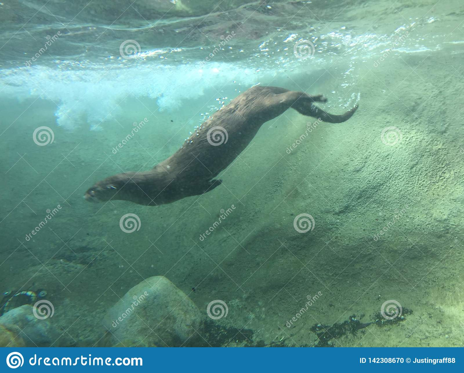 River Otter Diving into murky water swimming underwater with rocks and dirt stirred up