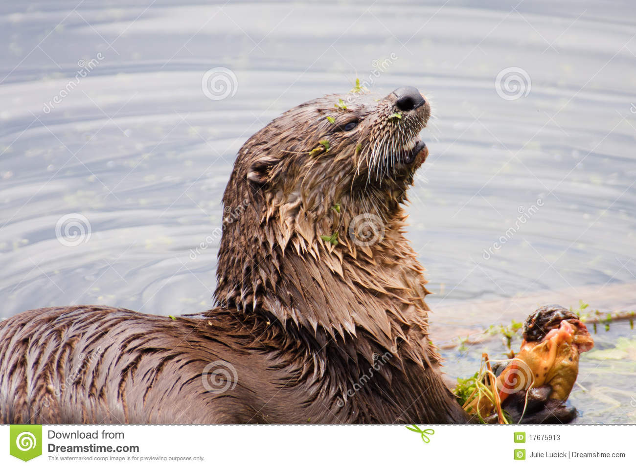 River otter eating fish stock photos image 17675913 for Dreaming of eating fish