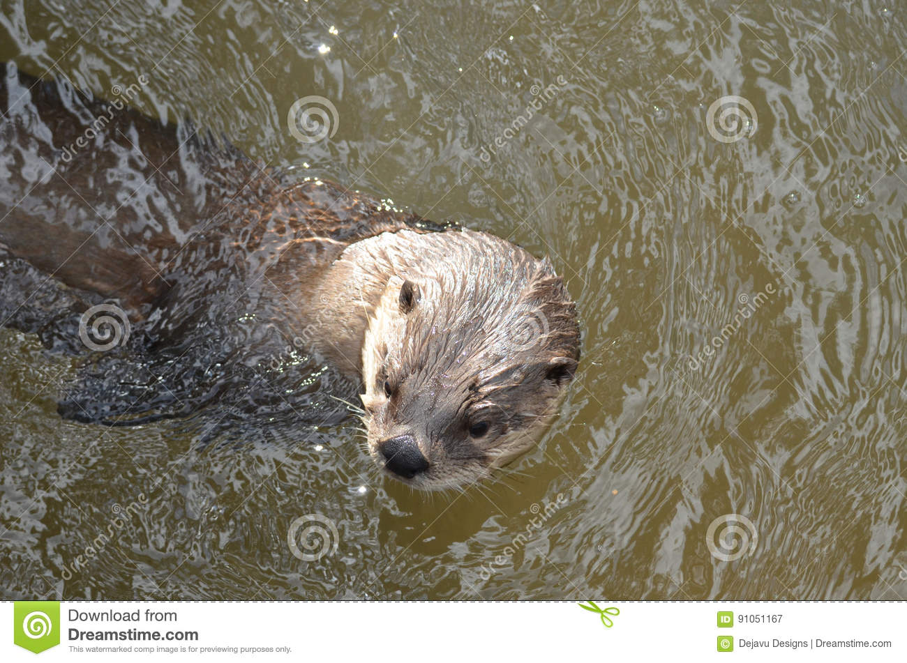 River Otter Peaking Out of a Muddy River
