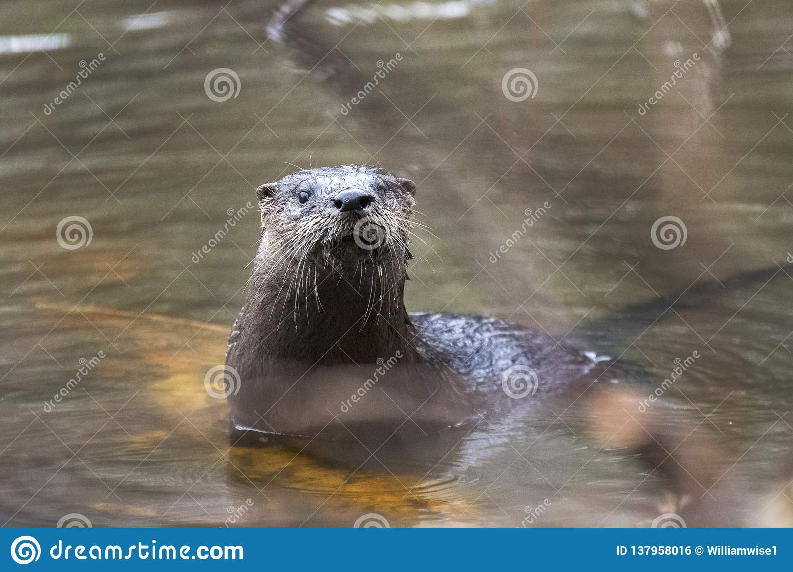 River Otter Swimming In Muddy Georgia Pond, USA Stock Photo