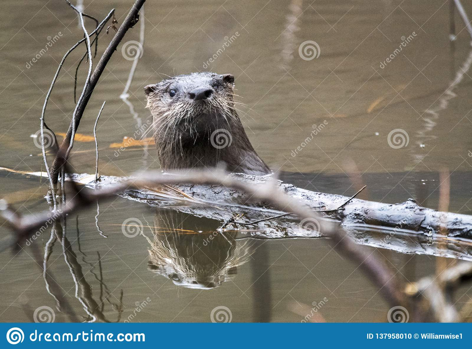 River Otter swimming in muddy Georgia pond, USA