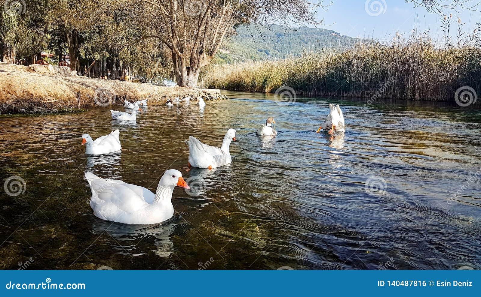 Rivière d Azmak, Akyaka, Mugla, Turquie paradis de nature d élément de conception de composition