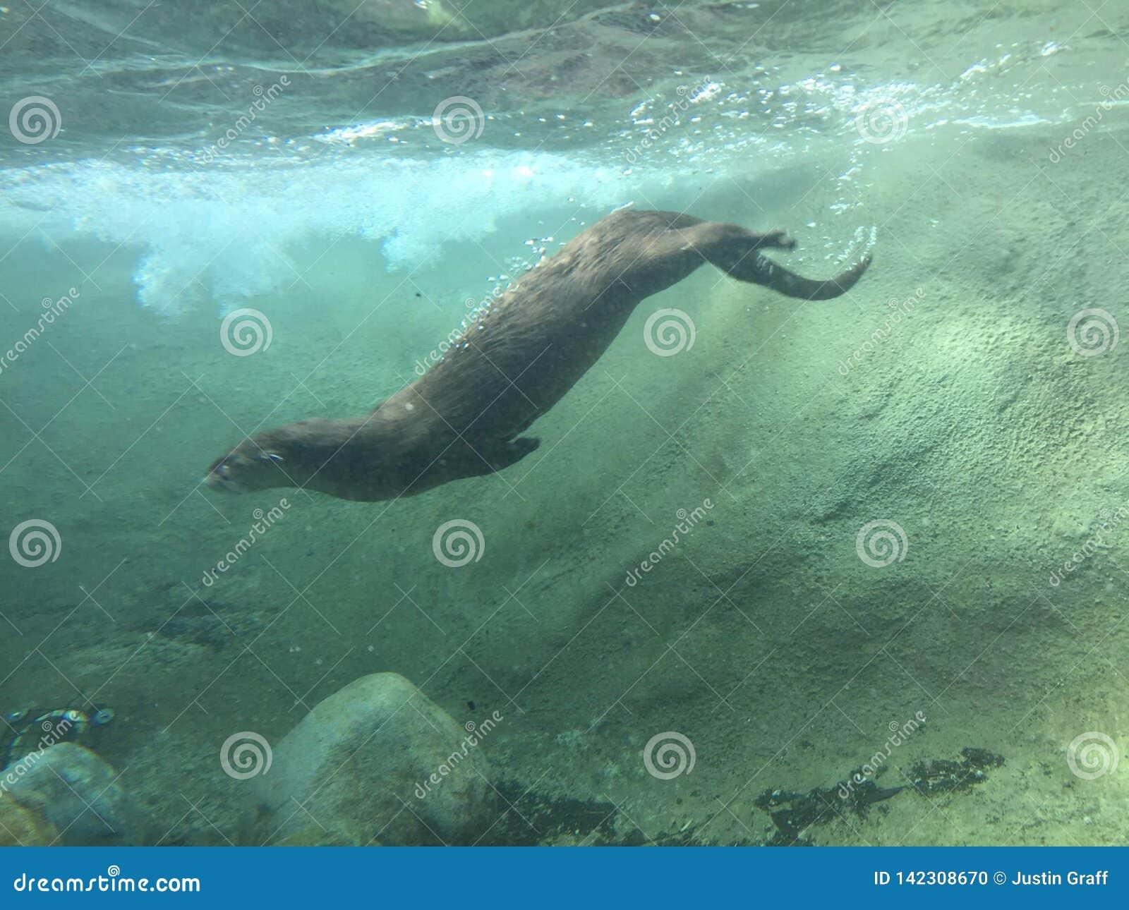 Rivierotter die in het duistere water zwemmen onderwater met rotsen en omhoog bewogen vuil duiken