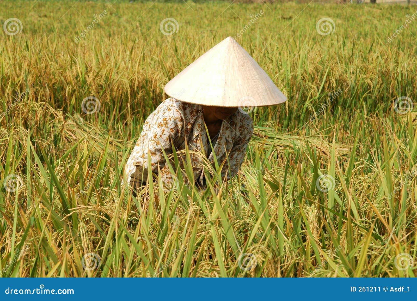 Riz de découpage de fermier